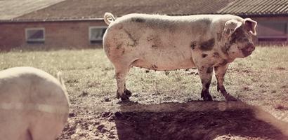 sector porcino industria carnica ayudas y subvenciones transferencia tecnologica